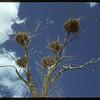 Blue Heron nests. Robsart 05/31/1950