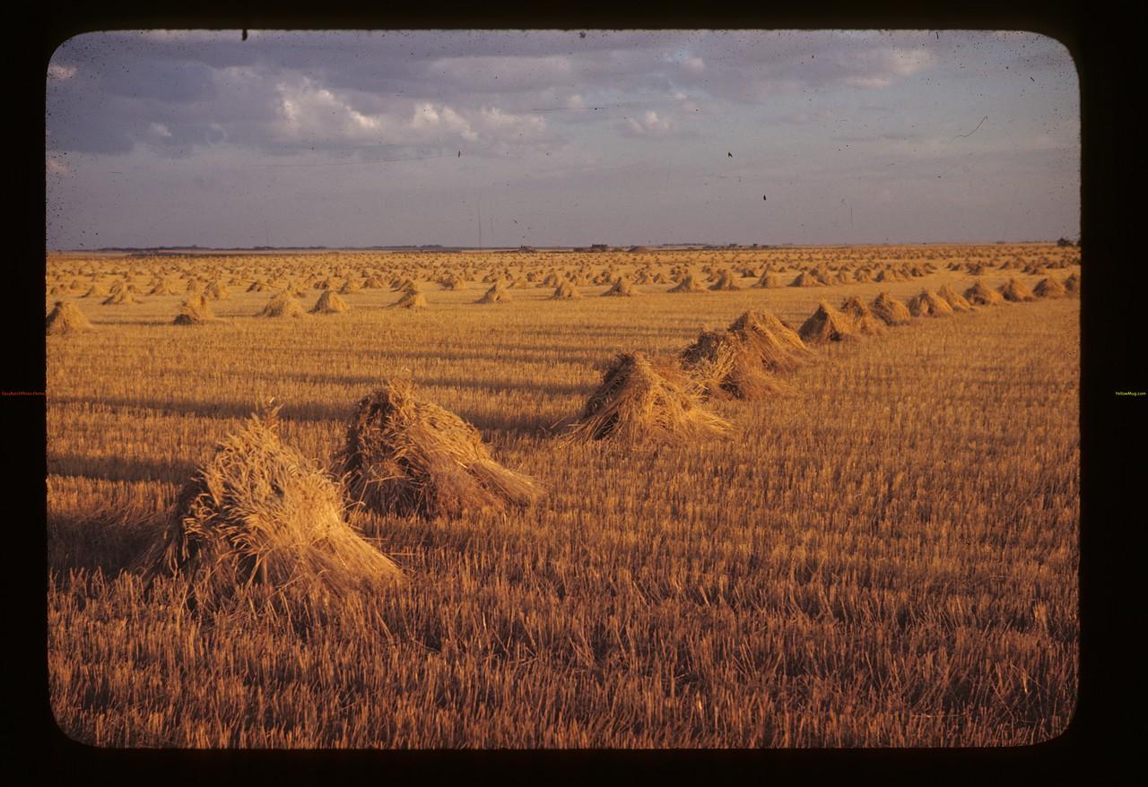 Sask. Grain Fields [stooks]. Lorlie. 09/04/1946