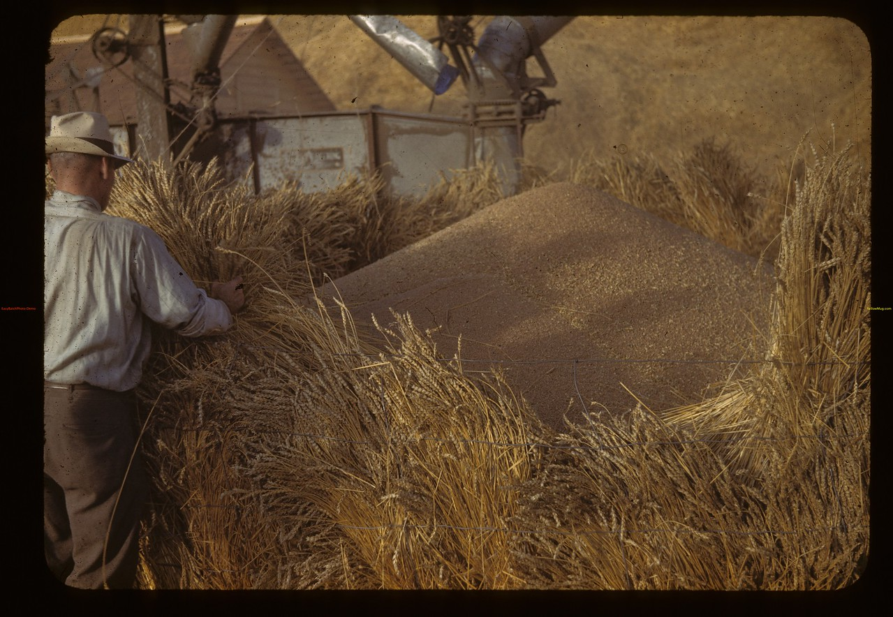 Supt. Jack MacPhail - Dominion Experimental Farm - packing sheaves in sideways to prevent bin from leaking. Melfort. 10/09/1942