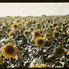 Tommy Jackson's 140 acres of Sunflowers.	 Indian Head.	 08/21/1943