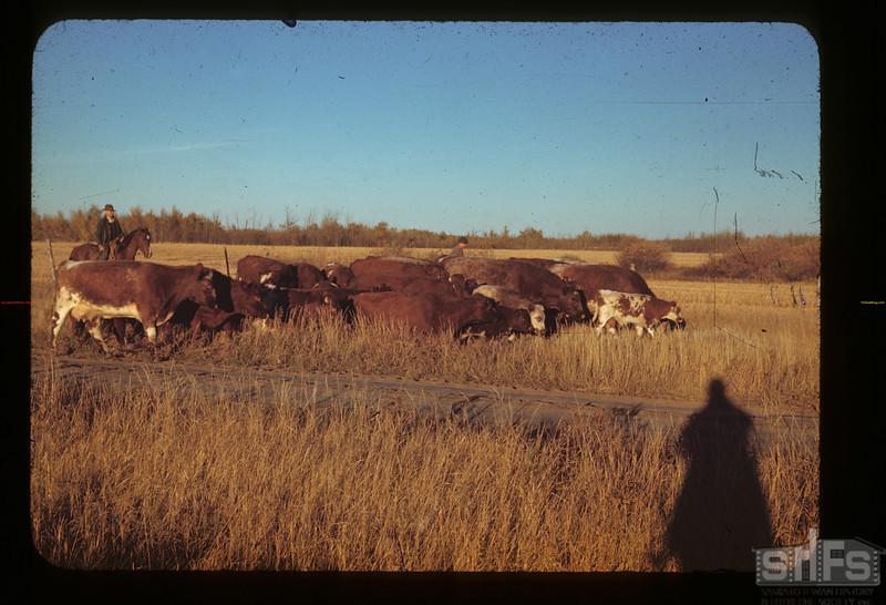 Brown's cattle enroute to market. Glen Ewen. 10/02/1942