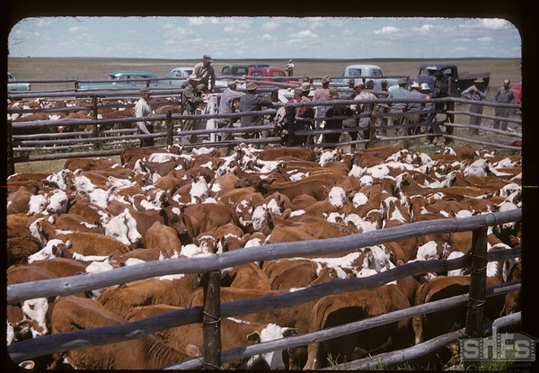 400 Lone Tree calves to Brand. Canuck. 06/25/1957