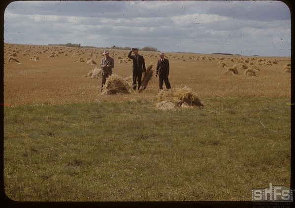 Reeve Harry Lester, Oscar Fernquist and Alf Spenser standing with 1950 crop [in stooks]. Murraydale  05/27/1951