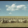 Clark Foster's 500 sheep. Claydon. 08/28/1942
