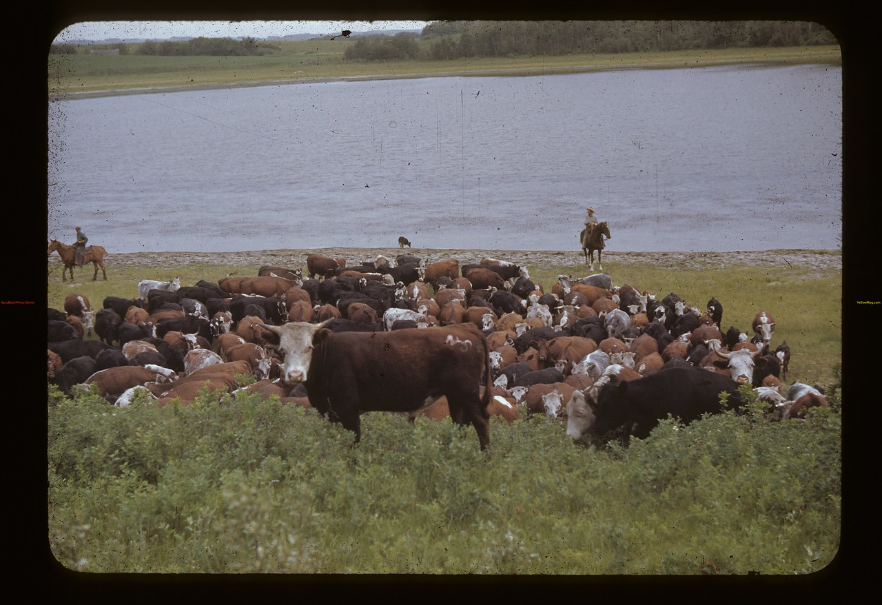 Nelson Bros round-up. Lloydminster. 07/05/1942