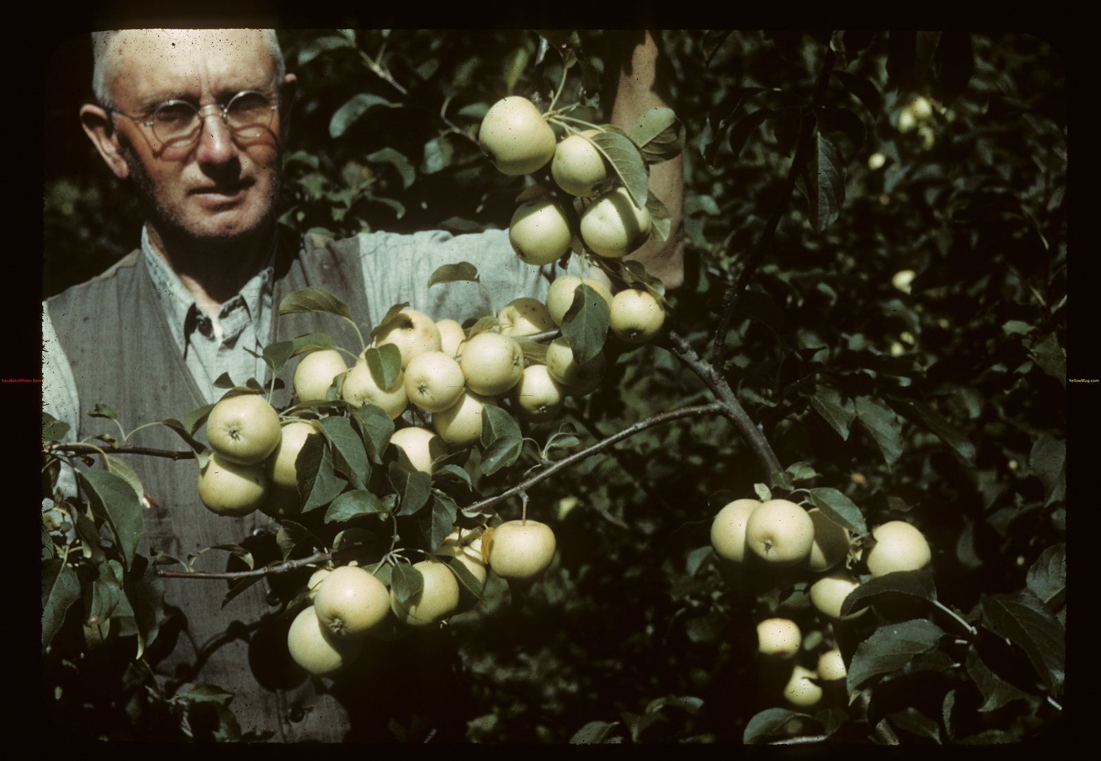 John Lloyd in his orchard. Adanac. 08/19/1942