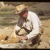 Professor Sternberg fitting bones together. Eastend. 06/23/1949