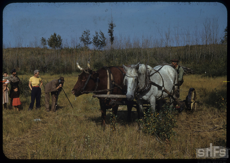 Jean's team and cherries.  [Horse and ox hitched together].Mildred. 08/23/1940