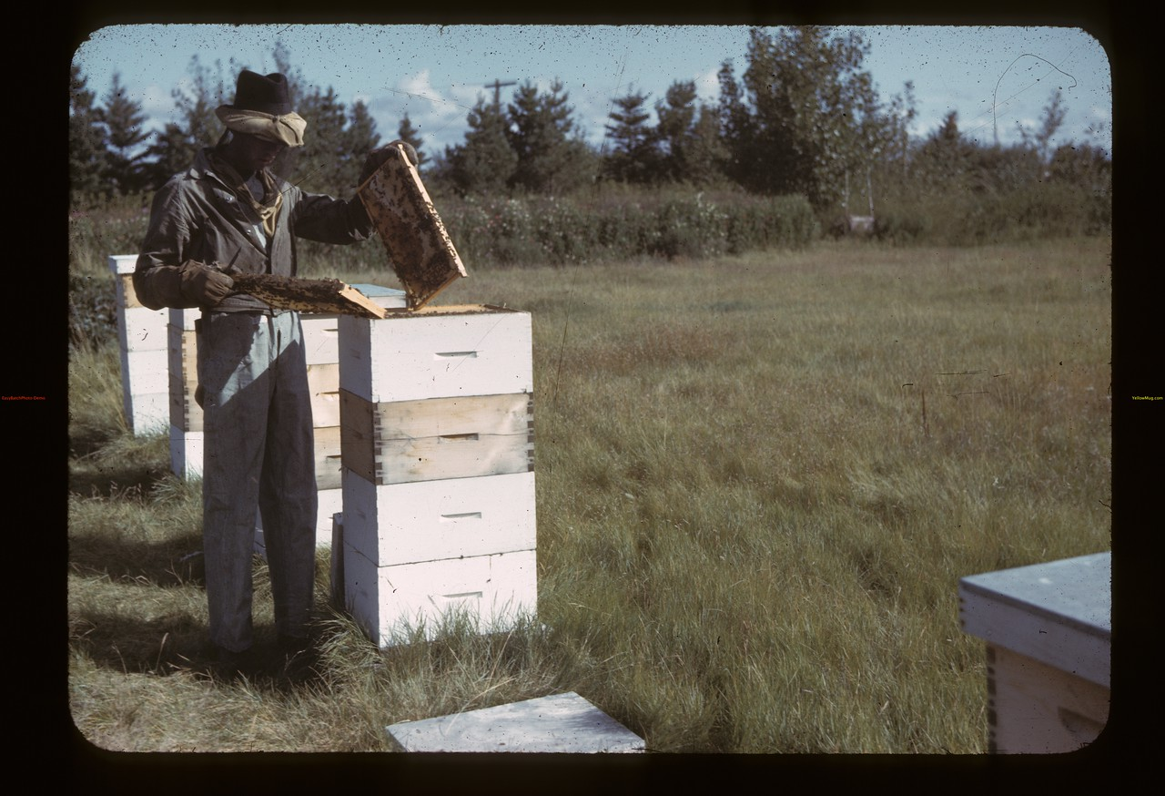 E.B. Ramsey Jr. and bees.  Fir Mountain. 09/17/1942