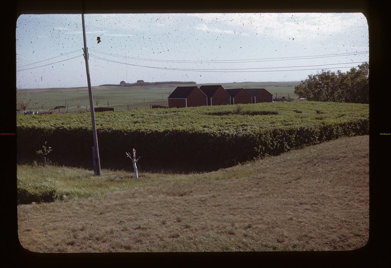 Erwin Willie maze - caragana maze. Liberty.  06/15/1946