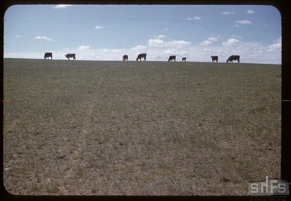 John Hatula's cattle Lone Tree lake.  Canuck. 06/21/1966