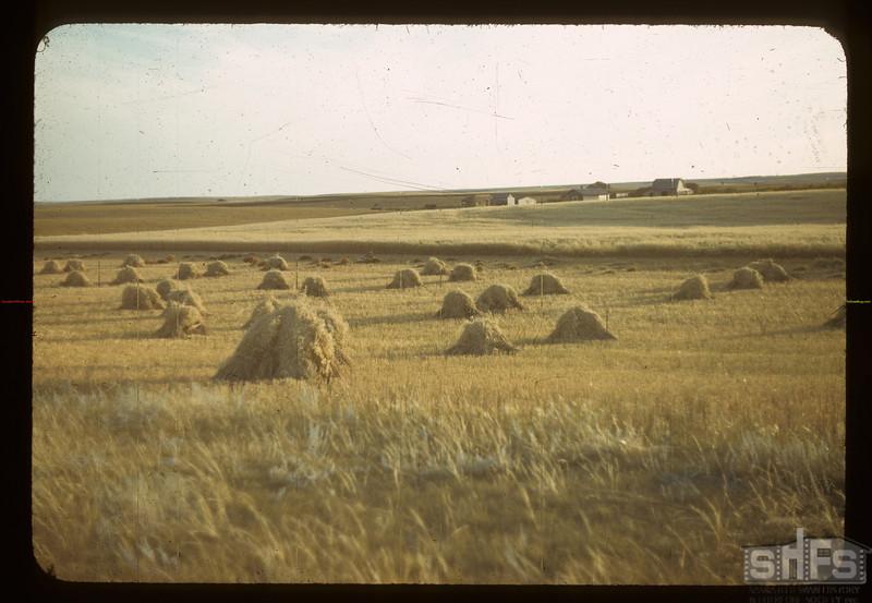 Oats [in stooks].  Eastend  08/28/1942
