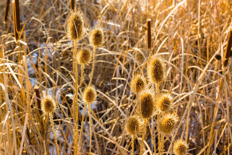 Winter Flowers, Walden Ponds, Boulder, CO (MRP-122)