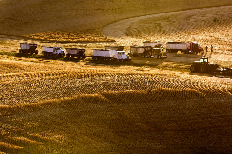 Trucks line up in a grain field at the end of a harvest day in the Palouse region of Washington