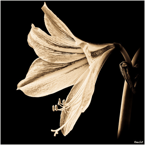 amaryllis, flower; bloom, flora, hippeastrum, black and white, B&W