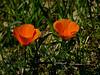 <em>Eschscholzia californica</em>, California Poppy, native.  <em>Papaveraceae</em> (Poppy family). Sibley Volcanic Regional Preserve, Alameda/Contra Costa Cos., CA  3/30/11