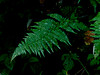 <em>Dryopteris arguta</em>, Coastal Wood Fern, native.  <em>Dryopteridaceae</em> (Wood Fern family). Sibley Volcanic Regional Preserve, Alameda/Contra Costa Cos., CA  10/31/10