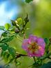 <em>Rosa gymnocarpa</em>, Wood Rose, native.  <em>Rosaceae</em> (Rose family). Sibley Volcanic Regional Preserve, Alameda/Contra Costa Cos., CA 5/5/2011