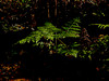 <em>Pteridium aquilinum</em> var. <em>pubescens</em>, Western Bracken, native.  <em>Dennstaedtiaceae</em> (Bracken family). Sibley Volcanic Regional Preserve, Alameda/Contra Costa Cos., CA 10/31/10