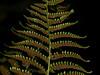 <em>Dryopteris arguta</em>, Coastal Wood Fern, native.  <em>Dryopteridaceae</em> (Wood Fern family). Sibley Volcanic Regional Preserve, Alameda/Contra Costa Cos., CA  11/10/10