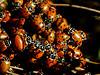 Convergent Ladybird, <em>Hippodamia convergens</em>.  Wintering aggregation. Sibley Volcanic Regional Preserve, Alameda/Contra Costa Cos., CA  10/31/10