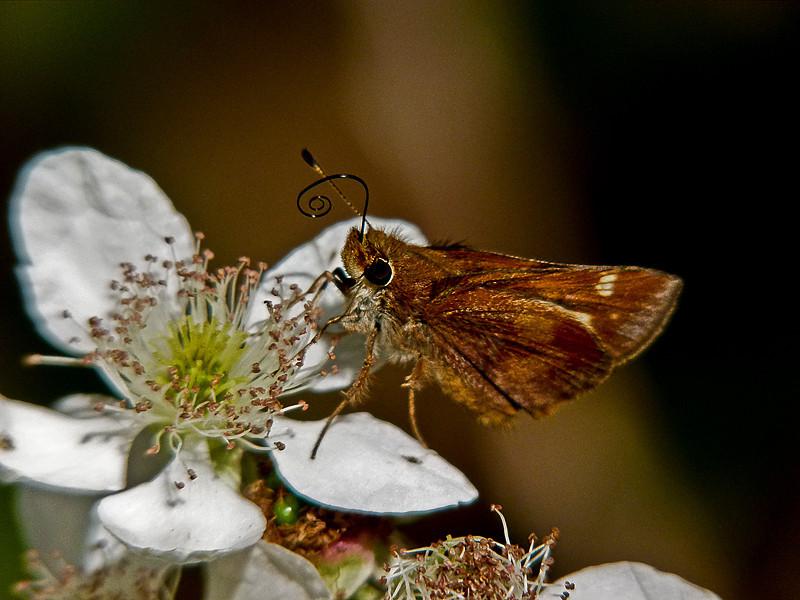 Umber Skipper, <em>Poanes melane</em> <em>Rubus discolor</em>, Himalayan Blackberry  Sibley Volcanic Regional Preserve, Alameda/Contra Costa Cos., CA 11/3/10