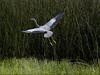 Great Blue Heron, <em>Ardea herodias</em>. Sibley Volcanic Regional Preserve, Alameda/Contra Costa Cos., CA 6/15/2011
