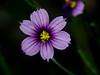 <em>Sisyrinchium bellum</em>, Blue-eyed Grass, native.  <em>Iridaceae</em> (Iris family). Sibley Volcanic Regional Preserve, Alameda/Contra Costa Cos., CA 5/5/2011