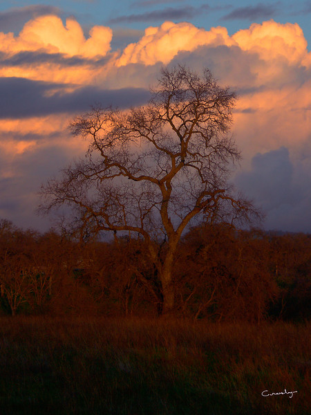 Camp Far West Winter Tree