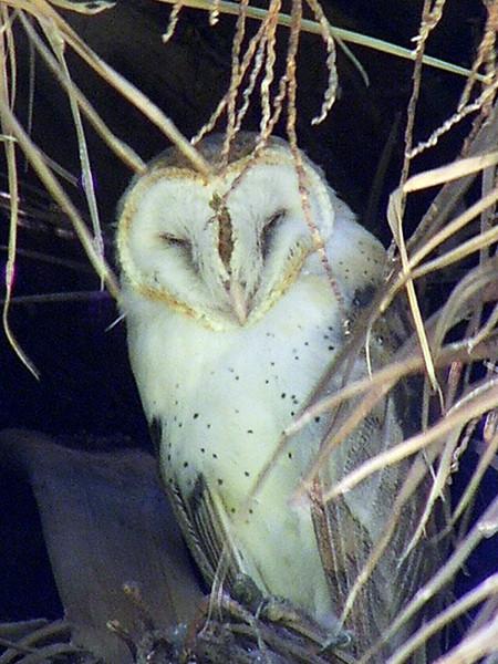 Sleeping Owl, Ophir, CA