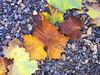 Fallen Leaves, Auburn, CA.