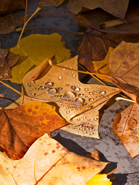 Autumn Leaves Droplets 1