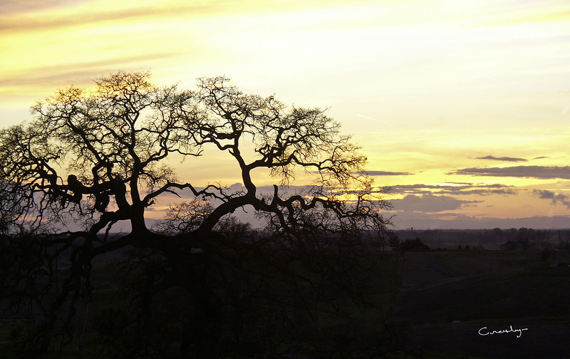 Oak Tree in Sunset
