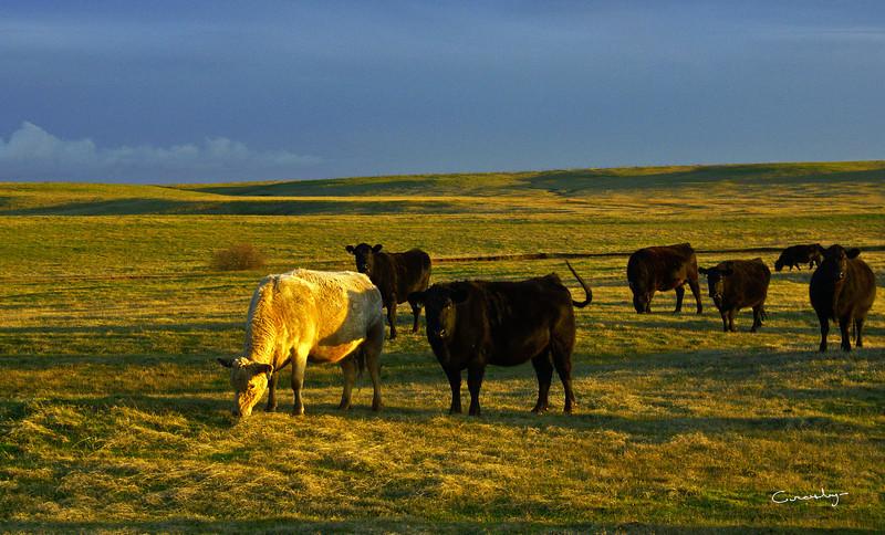 Camp Far West Cows, CA.