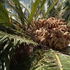 I don't know what this is. Some kind of palm fruit?