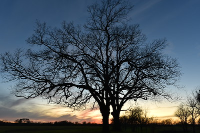 Two Pecan Trees in Twilight