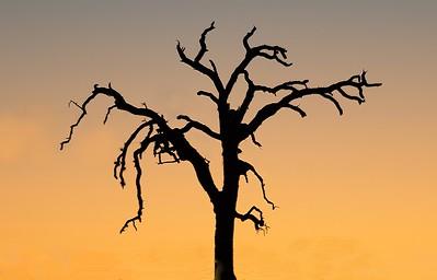 Old Dead Tree at Sundown