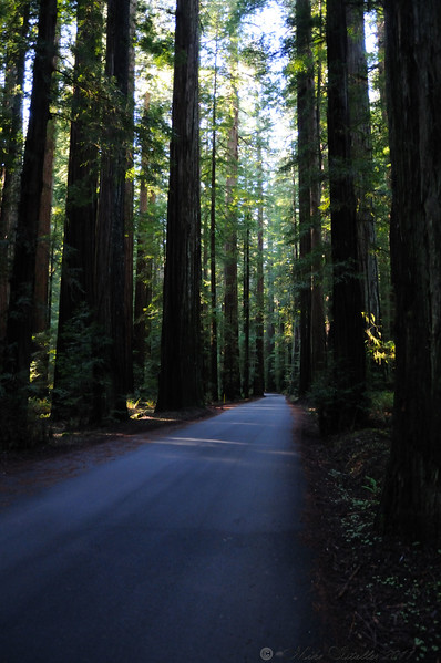 Avenue of The Giants, CA