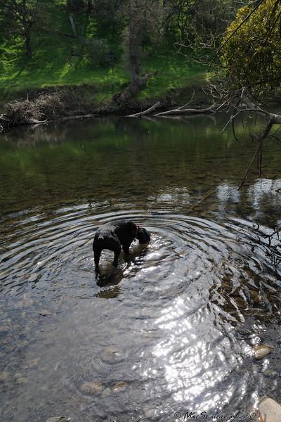 Abby Drinking Stanislaus River, CA