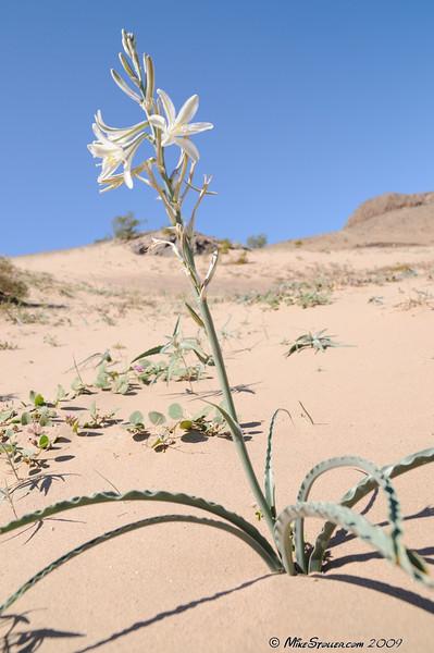 Desert Beauty, Sperry Wash, CA