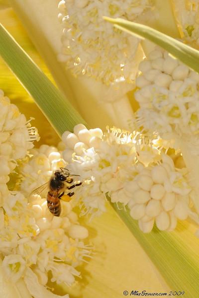 Bee and Giant Nolena, Kingston Range, CA