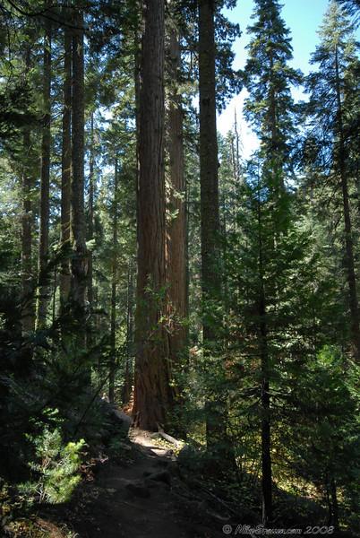 Nedler Grove of Giant Sequoias, CA