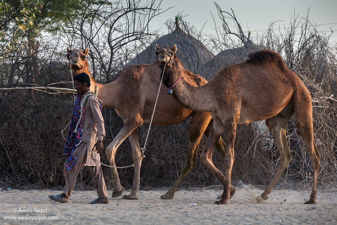 Camels look into Camera while leaving for work with their master