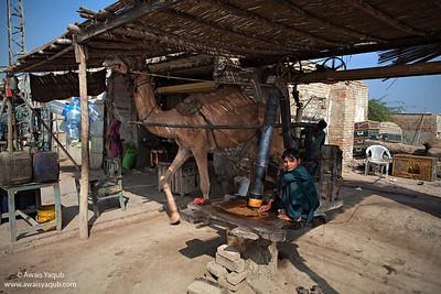 Camel in Kohlu