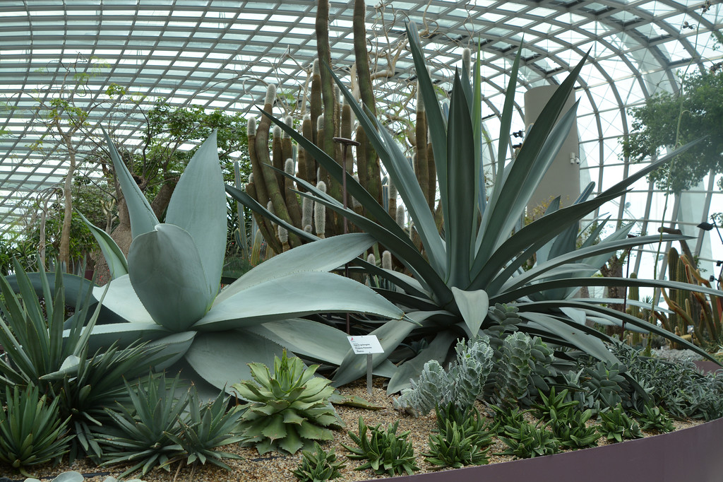 "Giant aloe plants!<br /> <br /> Flower Dome<br /> Gardens by the Bay, Singapore<br />  <a href=""http://www.gardensbythebay.com.sg"">http://www.gardensbythebay.com.sg</a>"