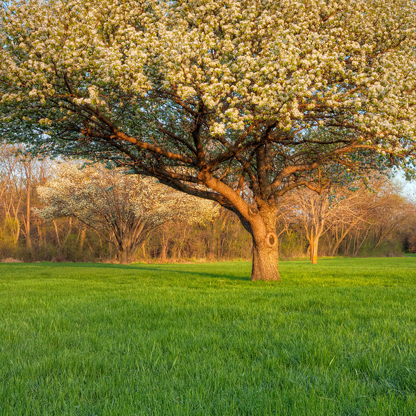 Siberian Crabapple Tree