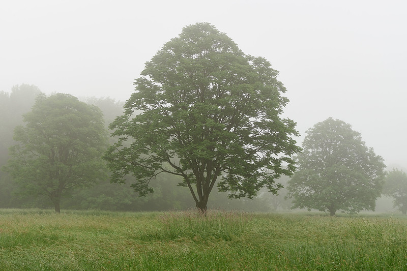 Honey Locust Trees in Fog