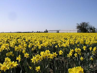Skagit Valley Flower Fields Early Spring 2005
