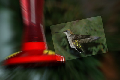 taken from kitchen table using nikon  capture camera was fired from kitchen table by the computer I got about 500 humming bird pictures in this manner and then tired of it the same with infra red i want to learn how and once i know i am onto the next thing in life its what keeps me going.