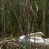 Swan on a nest